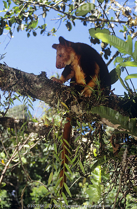 Goodfellow's tree kangaroo {Dendrolagus goodfellowi} in tree, Papua New Guinea, endangered species  ,  BRANCHES,CUTE,ENDANGERED,HABITAT,MAMMALS,MARSUPIALS,PLANTS,TREE KANGAROOS,TREES,VERTEBRATES,VERTICAL,NEW GUINEA  ,  Phil Chapman