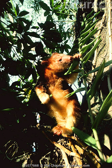 Goodfellow's tree kangaroo feeding in tree {Dendrolagus matschie goodfellowi}, Papua New Guinea  ,  ARBOREAL,EATING,ENDANGERED,FEEDING,LEAVES,MAMMALS,MARSUPIALS,PAPUA NEW GUINEA,SOUTH EAST ASIA,TREE KANGAROOS,TREES,VERTEBRATES,VERTICAL,Asia,Plants  ,  Phil Chapman