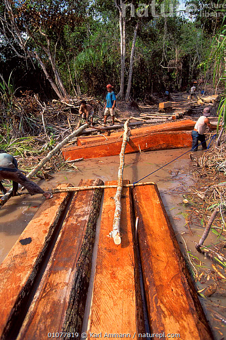 Logging operations in Tanjung Puting NP, Central Kalimantan, Borneo, Indonesia  ,  AMMANN,ASIA,DEFORESTATION,KALIMANTAN,KAM,KARL,LOGGING,LOGS,NATIONAL PARK,NP,PUTING,RAINFOREST,SOUTH EAST ASIA,TANJUNG,TIMBER,TROPICAL,TROPICAL RAINFOREST,SOUTH-EAST-ASIA  ,  Karl Ammann