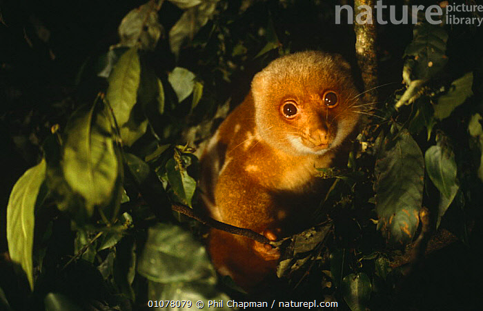 Spotted cuscus male {Phalanger maculatus} Lowland forest, Papua New Guinea.  ,  CUSCUSES,MALES,MAMMALS,MARSUPIALS,NIGHT,NOCTURNAL,PAPUA NEW GUINEA,SOUTH EAST ASIA,TROPICAL RAINFOREST,VERTEBRATES,Asia  ,  Phil Chapman