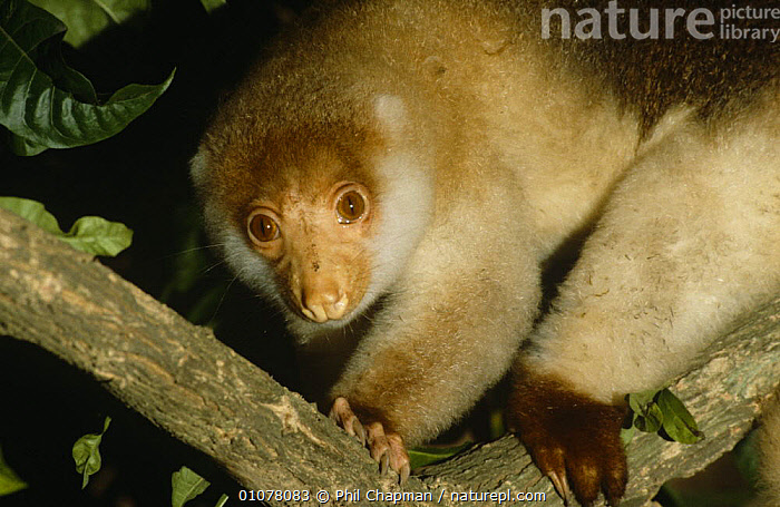 Spotted cuscus female {Phalanger maculatus} Lowland forest, Papua New Guinea.  ,  CUSCUSES,FEMALES,MAMMALS,MARSUPIALS,NIGHT,NOCTURNAL,PAPUA NEW GUINEA,PORTRAITS,SOUTH EAST ASIA,TROPICAL RAINFOREST,VERTEBRATES,Asia  ,  Phil Chapman