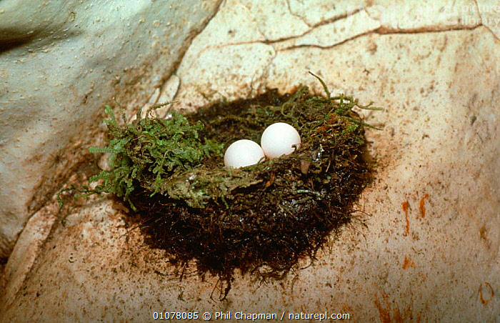 Mossy nest swiftlet eggs in nest in cave {Aerodramus salangana} Sarawak, Indonesia  ,  BIRDS, CAVES, EGGS, INDONESIA, NESTS, SOUTH-EAST-ASIA, SWIFTS, VERTEBRATES,Asia  ,  Phil Chapman