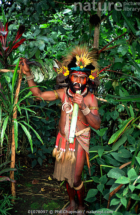Traditional Huli land owner in medicinal plant garden, Tani valley, Papua New Guinea  ,  ASIA,CLOTHING,CULTURES,GARDENS,MALES,MEDICINAL,PAPUA NEW GUINEA,PEOPLE,PLANTS,SOUTH EAST ASIA,TRADITIONAL,TRIBAL,TRIBES,VERTICAL,WEST-AFRICA  ,  Phil Chapman