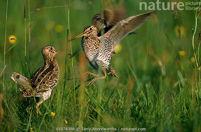 Male great snipe fighting at lek {Gallinago / Capella media} Poland Europe  ,  ACTION,BIRDS,COMPETITION,DOMINANCE,DRAMATIC,EUROPE,FIGHTING,LEK,MALE,MALES,MATING BEHAVIOUR,POLAND,TAN,WADERS,AGGRESSION,REPRODUCTION,Concepts,Hierarchy,Hierarchical,,Nature reclamation  ,  Terry Andrewartha