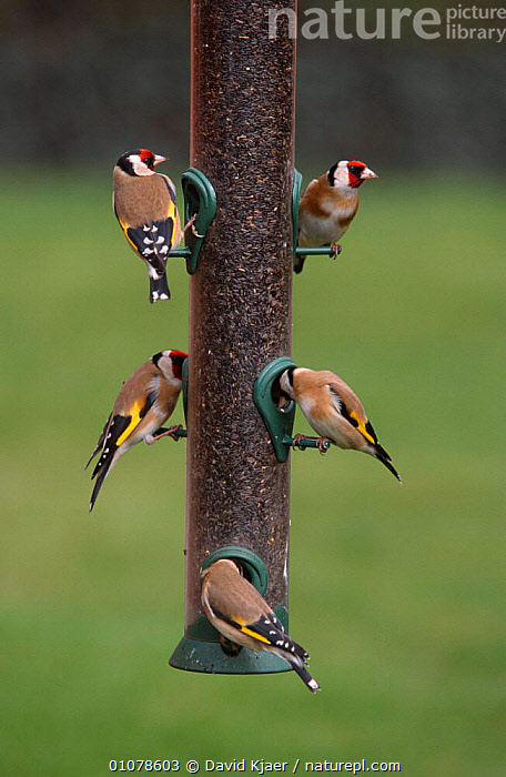 Goldfinches on feeder {Carduelis carduelis} Wiltshire, UK  ,  BIRDS,ENGLAND,EUROPE,FEEDERS,FINCHES,FIVE,GARDENS,VERTICAL  ,  David Kjaer