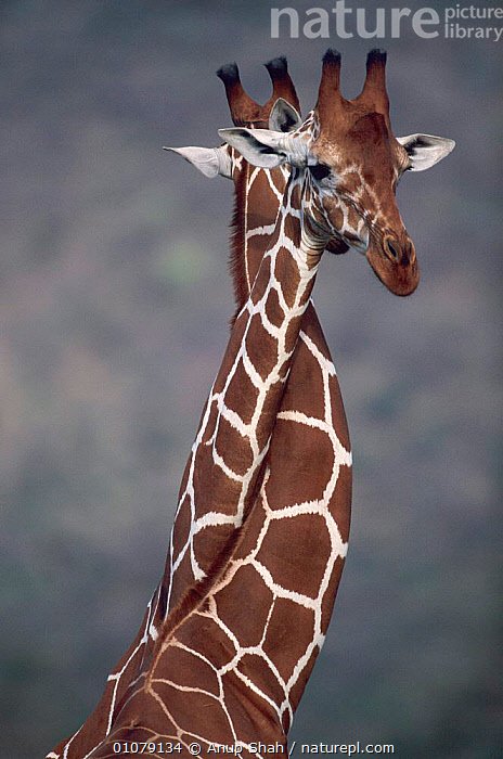 Giraffes necking {Giraffa camelopardalis} - play fighting. East Africa, AFRICA,ANUP,ARTIODACTYLA,AS,ENTWINED,FIGHTING,HEADS,MAMMALS,NECKING,NECKS,PLAY,SHAH,TWO,VERTICAL,AGGRESSION,COMMUNICATION,Concepts, Anup Shah