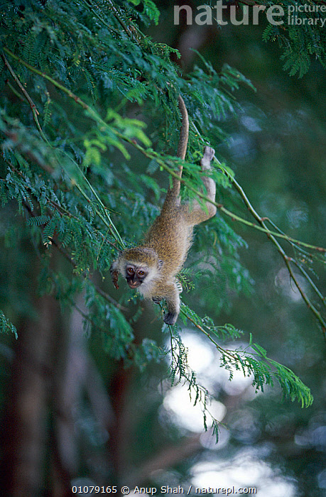 Playful Vervet monkey in tree (Chlorocebus / Cercopithecus aethiops) Samburu NR, Kenya, AFRICA,agility,animal theme,animals in the wild,Balance,BRANCHES,catalogue4,Cercopithecidae,CERCOPITHECUS AETHIOPS,FACES,GREEN MONKEY,Guenons,hanging,looking at camera,MAMMALS,mischief,MONKEYS,Nobody,one animal,PLANTS,PRIMATES,RESERVE,Tree,TREES,upside down,VERTEBRATES,VERTICAL,VERVET MONKEY,WILDLIFE, Anup Shah