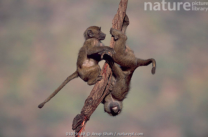 Young Olive baboons playing on branch, Samburu National Reserve, Kenya, AFRICA,ANUP,AS,BABOONS,BRANCH,BRANCHES,CUTE,EAST AFRICA,HORIZONTAL,INFANT,JUVENILES,KENYA,MAMMALS,OUTSTANDING,PLAY,PLAYING,PRIMATES,RESERVE,SAMBURU,SHAH,SWINGING,TWO,YOUNG,COMMUNICATION,MONKEYS, Anup Shah