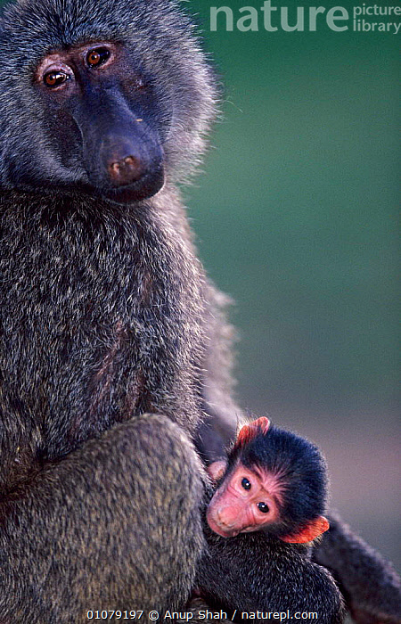 Adult Olive Baboon with baby {Papio anubis}, Samburu National Reserve, Kenya, ADULT,AFFECTIONATE,AFRICA,ANUP,APPEALING,AS,BABY,EAST AFRICA,FACES,FAMILIES,HEADS,INFANT,JUVENILE,KENYA,MAMMALS,PRIMATES,RESERVE,SAMBURU,SHAH,VERTICAL,CONCEPTS,MONKEYS, Anup Shah