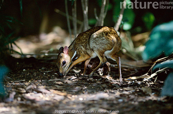 Lesser Malay mouse deer {Tragulus javanicus} native to Asia  ,  ARTIODACTYLA,ASIA,CAPTIVE,GROUND,HORIZONTAL,MAMMALS,PROFILE,SHAH,SMALL,TINY  ,  Anup Shah