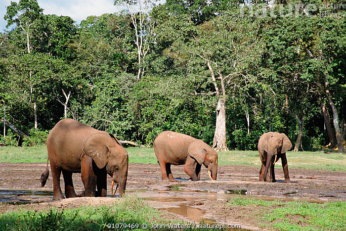 African elephants dig for minerals at Dzanga bai forest clearing Central African Republic {Loxidonta africana}  ,  AFRICA,BAI,CENTRAL AFRICA,DRINKING,DZANGA,FEEDING,JWA,LICK,MAMMALS,MINERAL,MINERALS,PROBOSCIDS,RAINFOREST,TROPICAL,TROPICAL RAINFORESTS,WETLANDS,ELEPHANTS  ,  John Waters