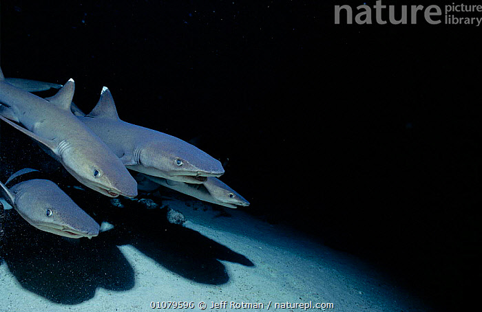 Whitetip reef shark pack hunting at night {Triaenodon obesus} Cocos Is, Costa Rica, Pacific Ocean, CENTRAL AMERICA,CHONDRICHTHYES,COCOS,COOPERATION,FISH,GROUPS,HORIZONTAL,HUNTING,JR,MARINE,NIGHT,,PACK,SOCIAL BEHAVIOUR,TROPICAL,UNDERWATER,SHARKS ,TEAMWORK, Fish, Jeff Rotman