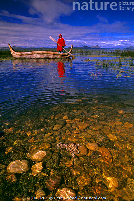 Lake Titicaca with local Indian in traditional reed boat and Giant Titicaca frog {Telmatobius culeus} in foreground, captive release, Bolivia  ,  AMPHIBIANS,BOATS,FROGS,LAKES,LANDSCAPES,PEOPLE,SOUTH AMERICA,TRADITIONAL,VERTICAL,SOUTH-AMERICA  ,  Pete Oxford