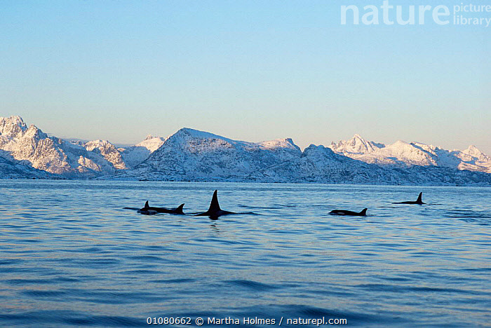 Pod of Killer whales {Orcinus orca} with snowy mountains behind, Tysfiord, Norway  ,  ATLANTIC,AUTUMN,CETACEANS,EUROPE,GROUPS,HORIZONTAL,MAMMALS,MARINE,MOUNTAINS,NORWAY,SCANDINAVIA,SNOW,SURFACE COLD,VERTEBRATES,WHALES  ,  Martha Holmes