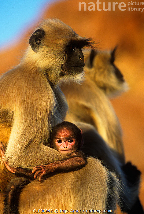 Southern plains grey / Hanuman langur {Semnopithecus dussumieri} mother and baby, Jodhpur, Rajasthan, India  ,  acceptance,animal family,animal theme,animal young,ASIA,BABIES,catalogue4,Cercopithecidae,desert,differential focus,DUSSUMIERS MALABAR LANGUR,DUSSUMIERS SACRED LANGUR,FAMILIES,female animal,focus on foreground,half length,HANUMAN LANGUR,human characteristic,india,Jodhpur,LANGURS,looking at camera,MAMMALS,Nobody,PRIMATES,PROFILE,protection,rajasthan,resignation,selective focus,side view,SITTING,small group,small group of animals,SOUTHERN PLAINS GREY LANGUR,three animals,VERTEBRATES,VERTICAL,WILDLIFE  ,  Ingo Arndt