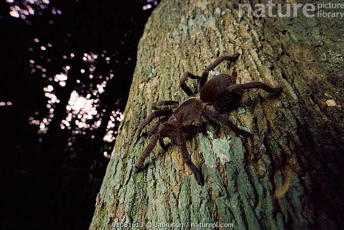 African baboon spider {Theraphosidae / Tarantula family) Odzala NP, Congo  ,  AFRICA,ARACHNIDS,BAI,BDA,CENTRAL AFRICA,CONGO,FOREST,HORIZONTAL,INSECTS,NATIONAL,NP,ODZALA,RAINFOREST,TREE,TROPICAL RAINFOREST,TRUNK,INVERTEBRATES,NATIONAL PARK,MONKEYS,Catalogue1 , Bruce Davidson  ,  Jabruson
