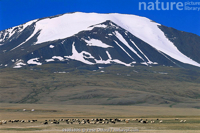 Kazakh nomads Gers / tents / yurts and grasing livestock, Tsengel, Khairkhan mtn, Western Mongolia. 2001  ,  ASIA,GRASSLAND,GROUPS,LANDSCAPES,LIVESTOCK,MONGOLIA,MOUNTAINS,PEOPLE,SNOW,TRADITIONAL,TRIBES  ,  Pete Oxford