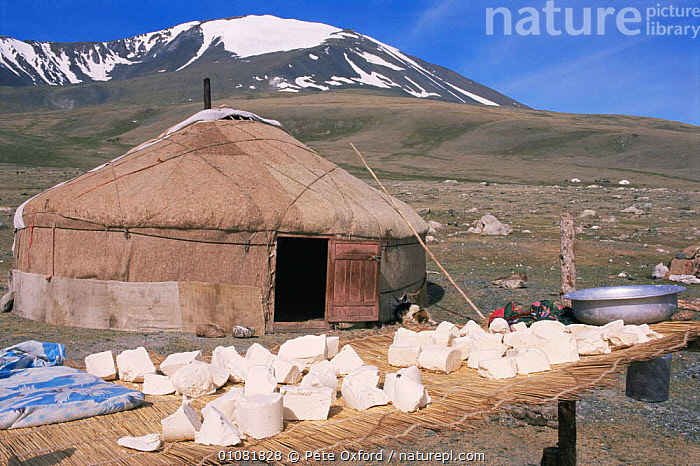 Cheese drying outside Kazakh nomad's Ger / yurt / tent home, near Tsengle, Khairkhan Mountain behind, Western Mongolia  ,  ASIA,BUILDINGS,CULTURES,food,HOMES,MONGOLIA,MOUNTAINS,nomadic,tents,TRADITIONAL,tribal,TRIBES  ,  Pete Oxford