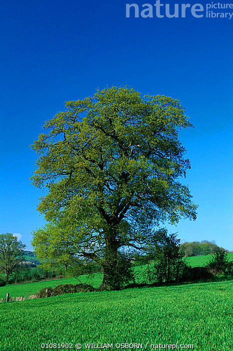 English oak tree in spring {Quercus robur}, UK. Seasons sequence 1/4, ENGLAND,EUROPE,FARMLAND,PLANTS,SEASONS,SEQUENCE,SPRING,TREE,TREES,UK,VERTICAL,WILLIAM,WO,UNITED KINGDOM,BRITISH, United Kingdom, United Kingdom,GettyBOV, WILLIAM OSBORN