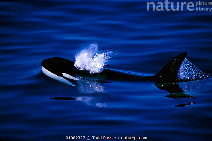 Killer whale surfacing {Orcinus orca}, Pribilof Islands, Bering Sea, Alaska, USA  ,  ALASKA,BLOWING,BREATHING,CETACEANS,HORIZONTAL,MAMMALS,MARINE,OUTSTANDING,PACIFIC,PACIFIC OCEAN,PEACEFUL,SEA,SURFACE,TODD,TPU,USA,NORTH AMERICA,CONCEPTS,Catalogue1  ,  Todd Pusser
