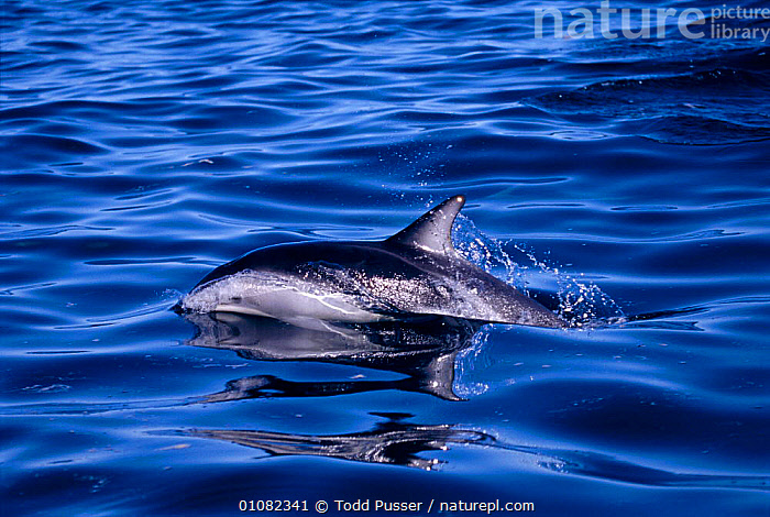 Dusky dolphin surfacing {Lagenorhynchus obscurus}, Kaikoura, New Zealand, Pacific  ,  CETACEANS,HORIZONTAL,MAMMALS,MARINE,NEW ZEALAND,NEW ZEALAND,PACIFIC,PACIFIC OCEAN,PROFILE,REFLECTIONS,SEA,SURFACING,TPU,DOLPHINS, Mammals  ,  Todd Pusser
