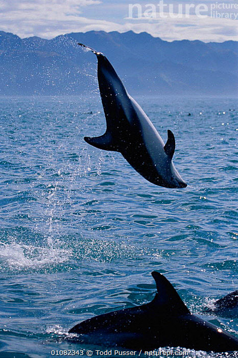 Dusky dolphin doing backflip {Lagenorhynchus obscurus}, Kaikoura, New Zealand, Pacific  ,  LEAPING,MAMMALS,ACTION,BREACHING,DOLPHINS,GROUPS,COASTAL WATERS,NEW ZEALAND,CETACEANS,MARINE,JUMPING,PACIFIC OCEAN,VERTICAL,PLAY,Communication, Mammals,Catalogue1  ,  Todd Pusser