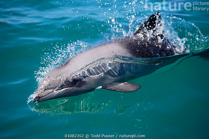 Heavisides dolphin at surface {Cephalorhynchus heavisidii}, Brittania Bay, South Africa  ,  ACTION,ATLANTIC OCEAN,CETACEANS,DOLPHINS,FACES,HEADS,HORIZONTAL,MAMMALS,MARINE,SEA,SOUTHERN AFRICA, Mammals,Catalogue1  ,  Todd Pusser