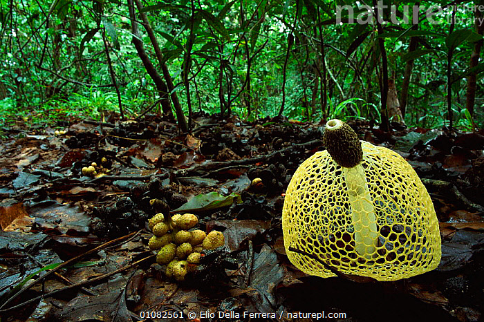 Nature Picture Library Veiled Fungus Phallus Sp And Michelia Sp Fruit On Leaf Litter In Tropical Wet Evergreen Forest Sri Lanka Elio Della Ferrera Why do trees in tropical evergreen forest do not shed their leaves together? https www naturepl com stock photo veiled fungus phallus sp and michelia sp fruit on leaf litter in image01082561 html