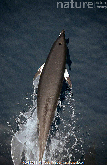 Northern right whale dolphin at surface {Lissodelphis borealis} Monterey Bay, California Pacific  ,  JUMPING,DOLPHINS,MAMMALS,BACK,CETACEANS,PACIFIC OCEAN,USA,SEA,VERTICAL,North America,Marine, Mammals,Catalogue1  ,  Todd Pusser