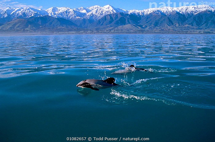 Hectors dolphins at surface {Cephalorhynchus hectori} Kaikoura, New Zealand Pacific  ,  CETACEANS,COASTAL WATERS,DOLPHINS,HORIZONTAL,LAND,LANDSCAPES,MAMMALS,MARINE,MOUNTAINS,NEW ZEALAND,PACIFIC,SURFACE,TPU,TWO, Mammals,AUSTRALASIA,Catalogue1  ,  Todd Pusser
