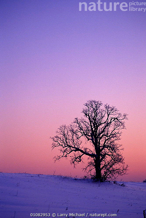 Oak tree at dawn in winter, Wisconsin, USA, ARTY SHOTS,DAWN,LAWRENCE,LM,MICHAEL,NORTH AMERICA,OAK,PLANTS,SILHOUETTES,SKY,SNOW,SUNRISE,TREE,TREES,VERTICAL,WINTER,USA, Larry Michael