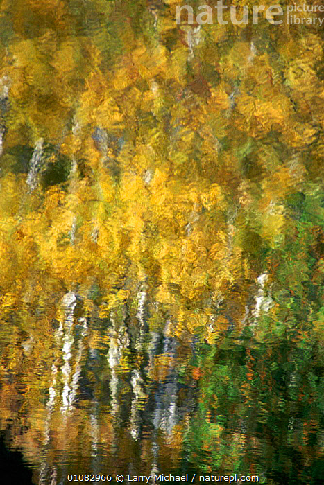 Autumn Aspen trees reflected in water, Michigan, USA, 35,ARTY SHOTS,AUTUMN,FALL,LAWRENCE,LEAVES,LM,MICHAEL,MICHIGAN,REFLECTED,REFLECTIONS,USA,VERTICAL,WATER,WOODLANDS,NORTH AMERICA, Larry Michael