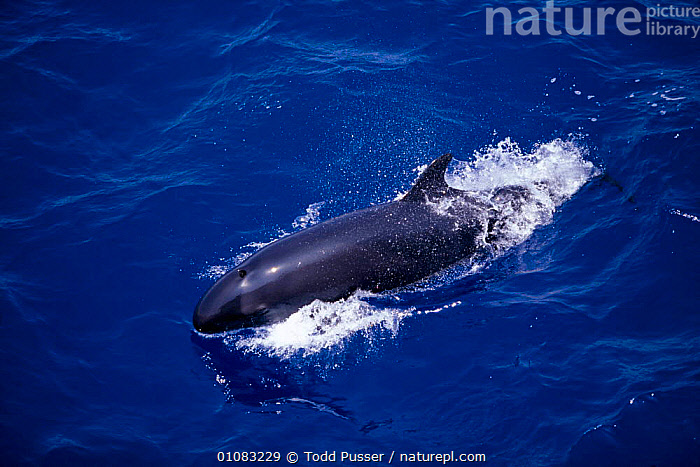 False killer whale {Pseudorca crassidens} Gulf of Mexico, Atlantic Ocean  ,  70,ATLANTIC,CETACEANS,GULF,HORIZONTAL,MAMMALS,MARINE,MEXICO,OCEAN,PUSSER,SEA,SURFACE,TODD,TPU,WAVES,WHALES  ,  Todd Pusser