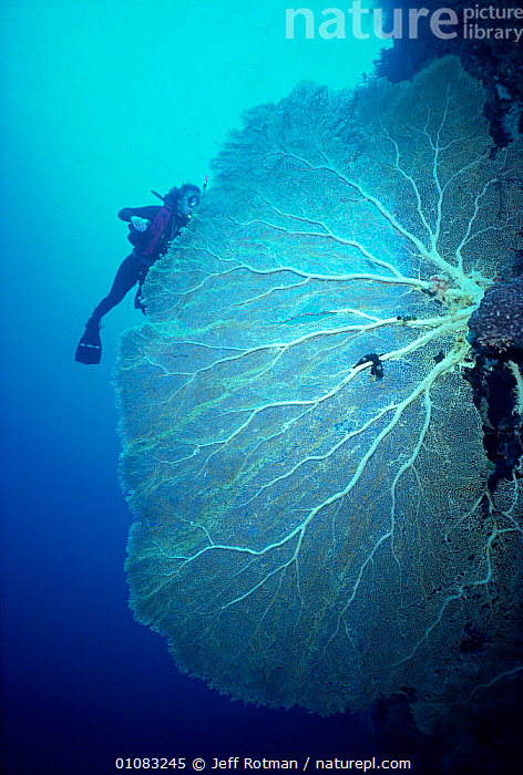 Giant seafan coral and diver {Subergorgia mollis} on reef Palau Is, Micronesia Model released., ANTHOZOANS,CORAL,CORAL REEFS,DIVER,DIVING,JR,LARGE,MARINE,MICRONESIA,PACIFIC,PEOPLE,PERSON,SIZE,TROPICAL,UNDERWATER,INVERTEBRATES, CNIDARIA, Jeff Rotman