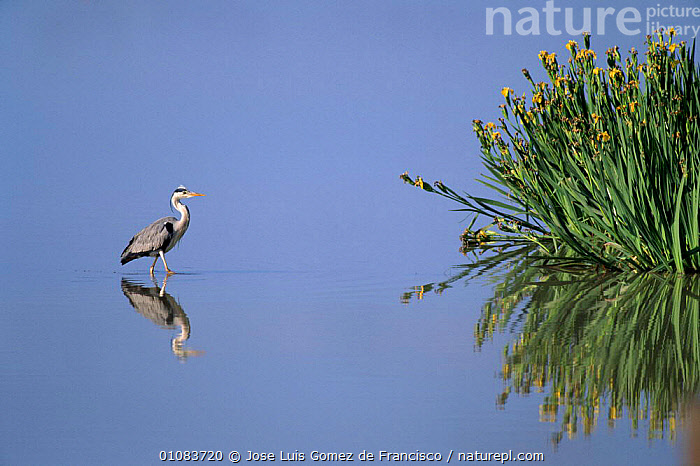 Grey heron {Ardea cinera} standing in water,  Spain, ARTY SHOTS,BIRDS,EUROPE,FLOWERS,HORIZONTAL,IRIS,JGO,OUTSTANDING,REFLECTIONS,SPAIN,WADERS,,WATER,WETLANDS, Jose Luis Gomez de Francisco
