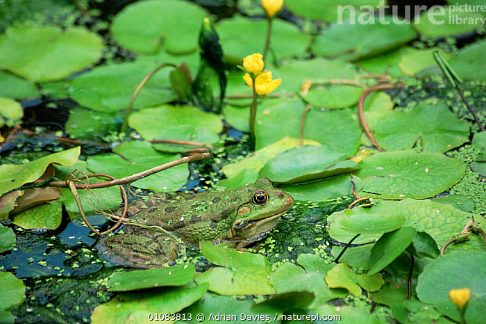 Marsh frog {Rana ridibunda} in pond with water lilies, UK  ,  AMPHIBIANS, Anura, AQUATIC, ENGLAND, EUROPE, FLOWERS, FROGS, HORIZONTAL, LAKES, LEAVES, PLANTS, UK, VERTEBRATES, WATER,United Kingdom  ,  Adrian Davies