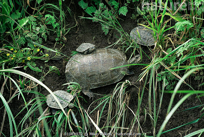 Caspian terrapin with young {Mauremys caspica} Lesbos, Greec  ,  BABIES,CHELONIA,FAMILIES,GREECE,GROUPS,HORIZONTAL,REPTILES,VERTEBRATES,Europe, Terrapins  ,  Mike Wilkes