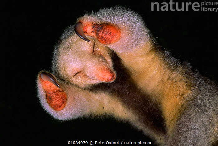 Pygmy anteater {Cyclopes didactylus} - note claw for holding onto branches when climbing, Iwokrama NP, Guyana  ,  CLAWS,CUTE,GUYANA,IWOKRAMA,MAMMALS,PO,RAINFOREST,SOUTH AMERICA,TROPICAL RAINFOREST  ,  Pete Oxford