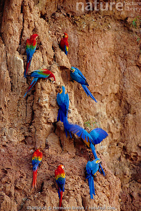 Scarlet macaws {Ara macao} and Blue and yellow macaws {Ara ararauna} on clay lick. Tambopata, Peru, BIRDS,CLAY,FEEDING,FLOCKS,GROUPS,MACAWS,MINERALS,MIXED SPECIES,PARROTS,PERU,RESERVE,SOUTH AMERICA,TAMBOPATA,TB,TORSTEN,VERTICAL, Hermann Brehm