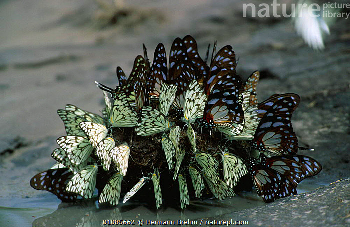 Butterflies {Lepidoptera} on African elephant dung, Botswana, Southern Africa  ,  AFRICA,ARTHROPODS,BUTTERFLIES,FAECES,FEEDING,GROUPS,INSECTS,INVERTEBRATES,LEPIDOPTERA,MAMMALS,SOUTHERN AFRICA  ,  Hermann Brehm