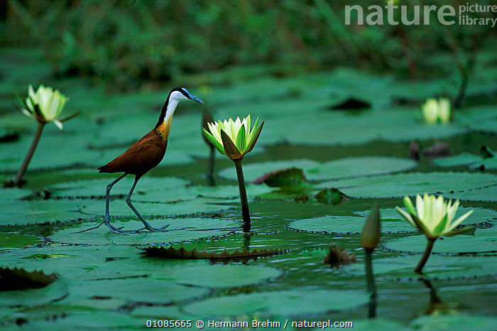 African jacana walking on lily pads {Actophilornis africana} Botswana  ,  AFRICA,AQUATIC,BIRDS,BOTSWANA,FEET,FLOWERS,HORIZONTAL,LAKES,LEAVES,LILY,PADS,PLANTS,SOUTHERN AFRICA,TB,WALKING,WATERLILIES  ,  Hermann Brehm