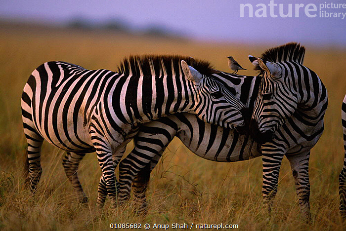Common zebras greeting {Equus quagga} Masai Mara, Kenya East Africa  ,  AFRICA,AS,COMMUNICATION,EAST AFRICA,FRIENDS,FRIENDSHIP,GREETING,HORIZONTAL,KENYA,MAMMALS,MARA,MASAI,OUTSTANDING,PERISSODACTYLA,SAVANNA,SOCIAL BEHAVIOUR,STRIPES,TWO,GRASSLAND,CONCEPTS,EQUINES  ,  Anup Shah