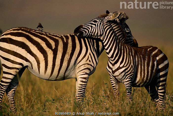 Common zebras mutual grooming {Equus quagga} Masai Mara, Kenya, East Africa  ,  AFRICA,AS,EAST AFRICA,GROOMING,KENYA,MAMMALS,MUTUAL,PERISSODACTYLA,SAVANNA,SHAH,SOCIAL BEHAVIOUR,STRIPES,TWO,GRASSLAND,EQUINES  ,  Anup Shah