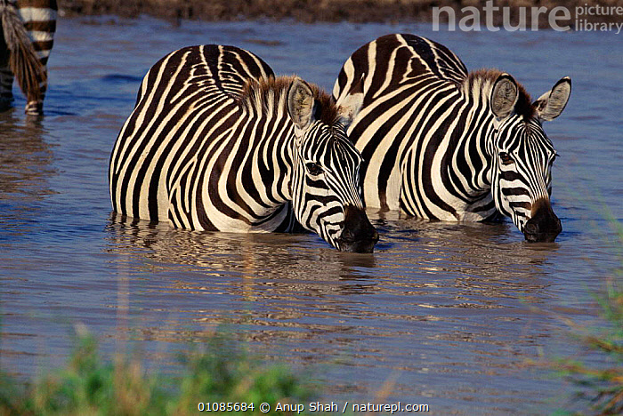 Common zebras standing in water and drinking {Equus quagga} Masai Mara, Kenya East-Africa  ,  AFRICA,AS,DRINKING,EAST AFRICA,EQUINES,GRASSLAND,KENYA,MAMMALS,PERISSODACTYLA,SAVANNA,TWO,WATER  ,  Anup Shah