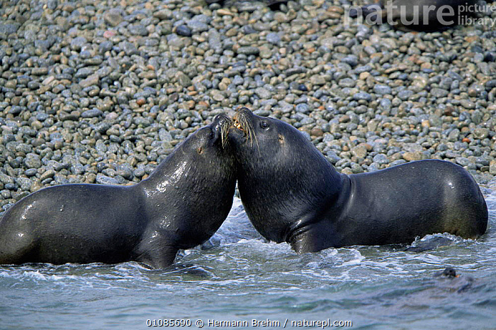 South American / Patagonian sealions {Otaria flavescens} Paracas NR, Peru  ,  BEACHES,CARNIVORES,COASTS,FRIENDSHIP,HORIZONTAL,MAMMALS,PINNIPEDS,SEALIONS,SOUTH AMERICA,VERTEBRATES,Concepts  ,  Hermann Brehm