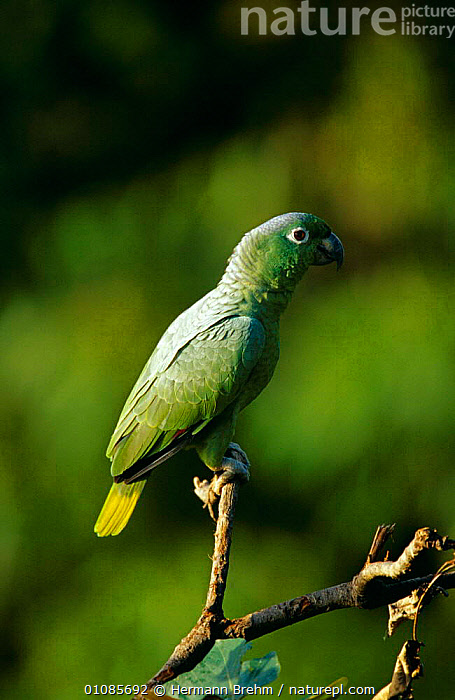 Mealy amazon parrot {Amazona farinosa} Tambopata reserve, Peru  ,  BIRDS,GREEN,PARROTS,RESERVE,SOUTH AMERICA,TROPICAL RAINFOREST,VERTEBRATES,VERTICAL  ,  Hermann Brehm