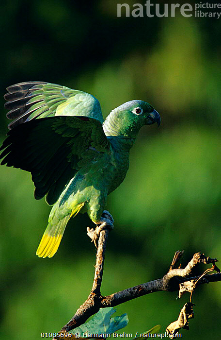 Mealy amazon parrot {Amazona farinosa} Tambopata reserve, Peru  ,  BIRDS,GREEN,PARROTS,RESERVE,SOUTH AMERICA,TROPICAL RAINFOREST,VERTEBRATES,VERTICAL,WINGS  ,  Hermann Brehm