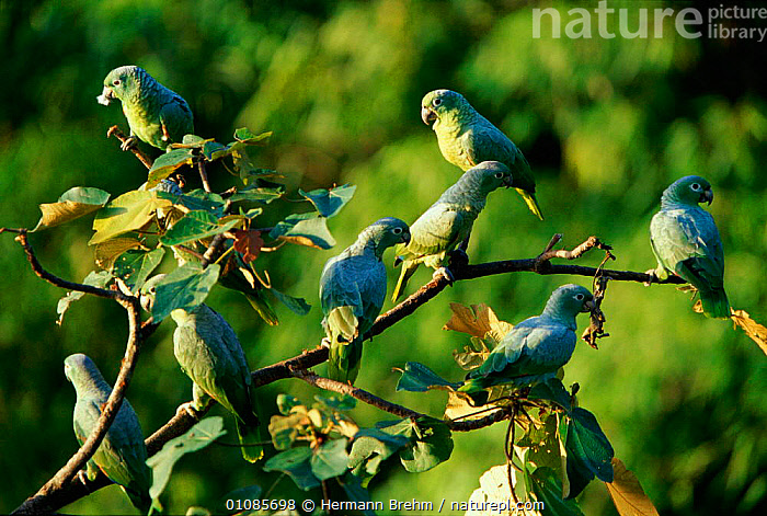 Mealy amazon parrots {Amazona farinosa} Tambopata reserve, Peru  ,  BIRDS,FLOCKS,GREEN,GROUPS,HORIZONTAL,PERU,SOUTH AMERICA,TAMBOPATA,TB,TROPICAL RAINFOREST  ,  Hermann Brehm