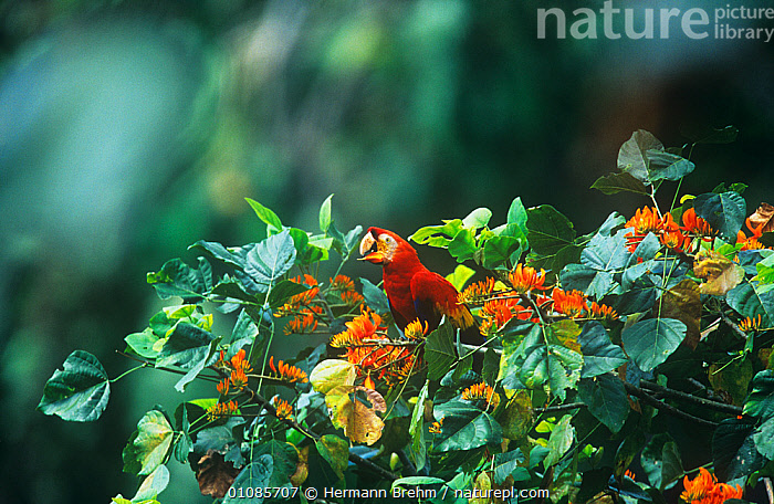 Scarlet macaw {Ara macao} feeding on rainforest flowers, Tambopata reserve, Peru  ,  BIRDS,COLOURFUL,FEEDING,FLOWERS,MACAWS,PARROTS,PLANTS,RESERVE,SOUTH AMERICA,TREES,TROPICAL RAINFOREST,VERTEBRATES  ,  Hermann Brehm