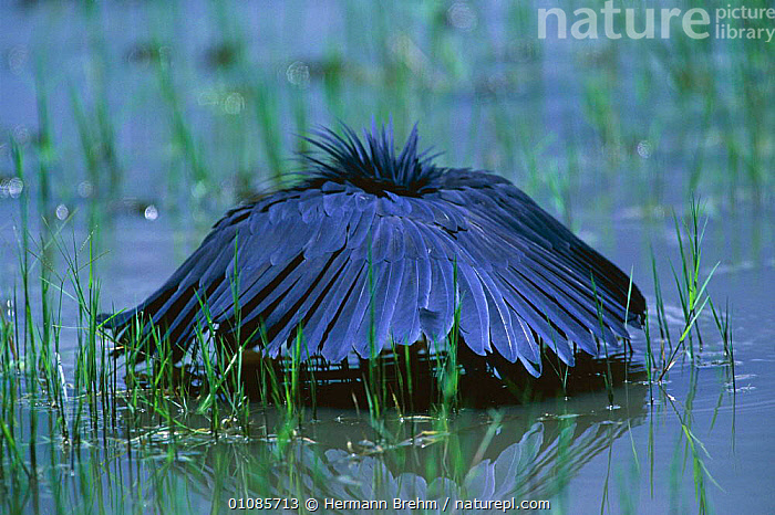 Black heron fishing under shade of its wings {Egretta ardesiaca} Botswana. Fish are attracted to shaded areas because they are less conspicuous to most predators.  ,  AFRICA, BIRDS, HERONS, HORIZONTAL, INTERESTING, VERTEBRATES, WADERS, WETLANDS, WINGS  ,  Hermann Brehm